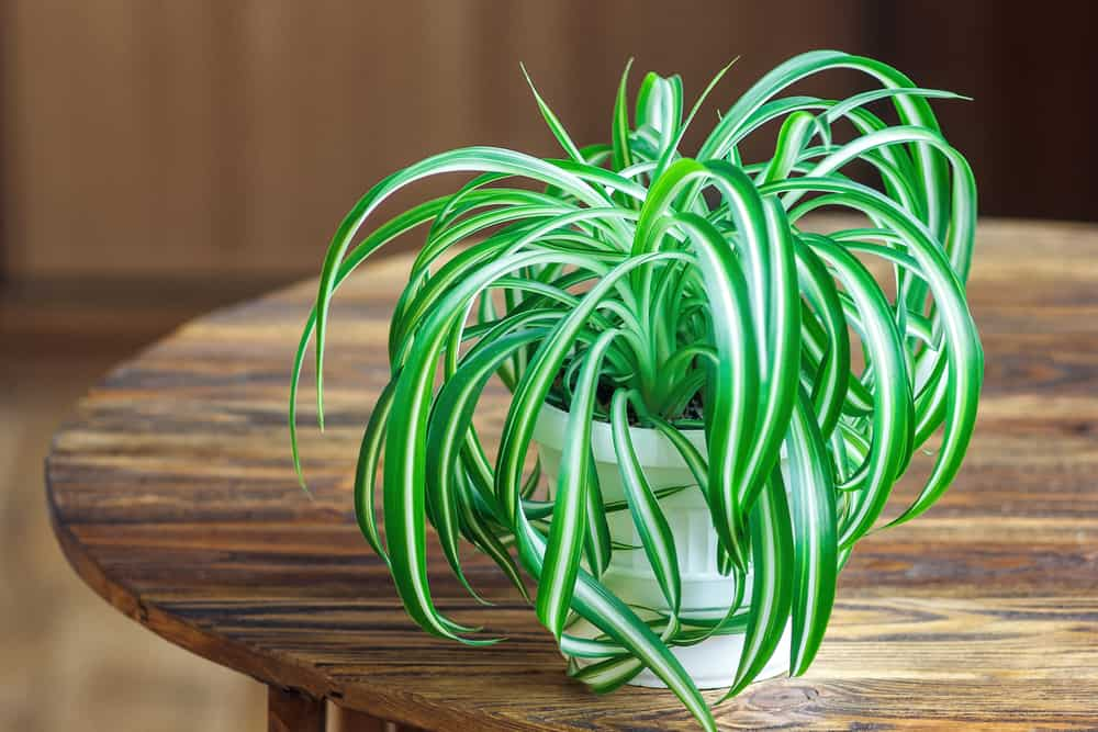 Spider Plant in Pot