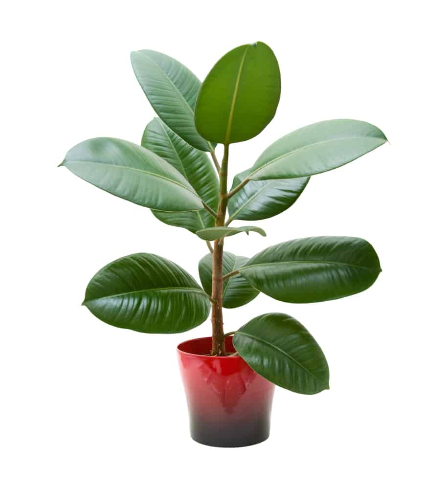 Rubber Tree Plant in pot