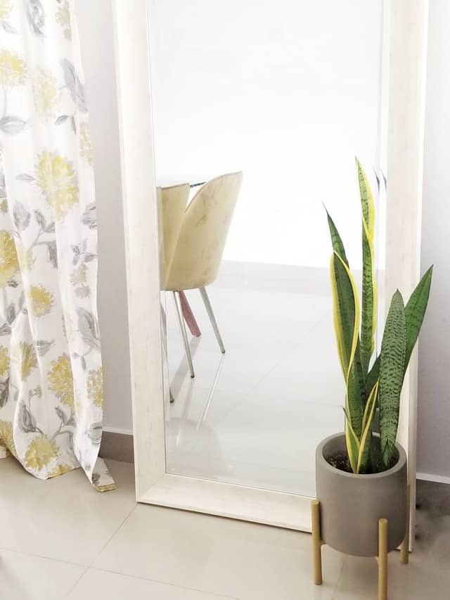 Snake Plant in pot by mirror