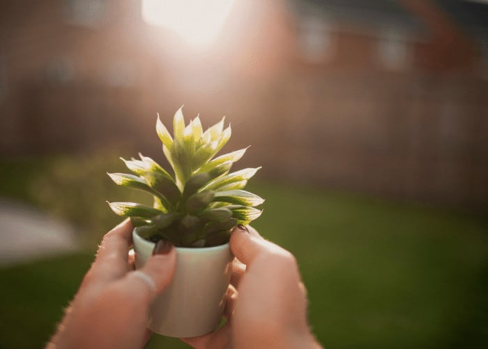 Potted Succulent in the Sun