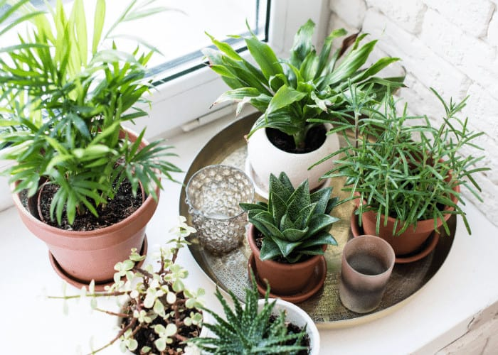 Collection of potted plants on a tray.