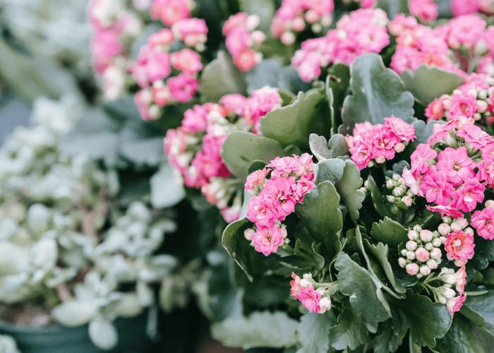 Pink Blooms on Kalanchoe Plant