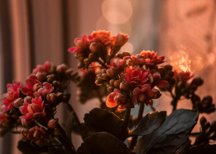 Kalanchoe Plant in Bloom